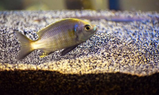 When boy fish build castles to impress girls, boy genes get 'turned on' and 'tuned in'