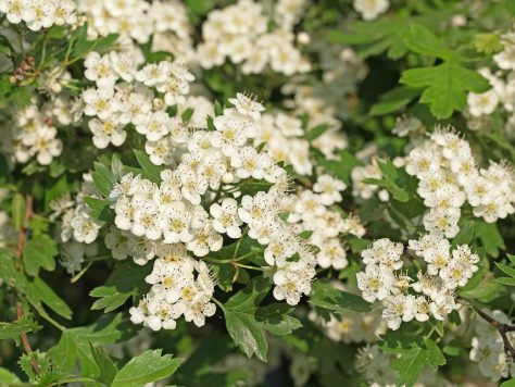 Hawthorn: Ranked 1. the medicinal plant of the year 2019