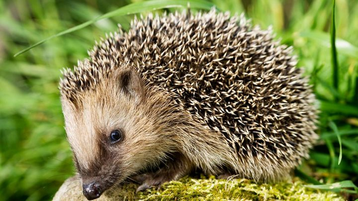 Pet hedgehogs associated with salmonella outbreak, 'don't kiss or snuggle' them, CDC warns