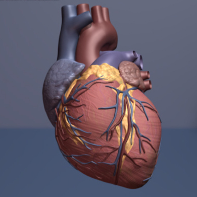 Scientists believe it may be possible to reverse the heart damage caused by aging