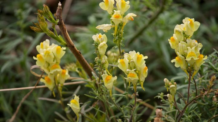 Toadflax – effect and application