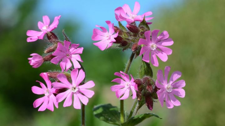 Red Campion – application and effect