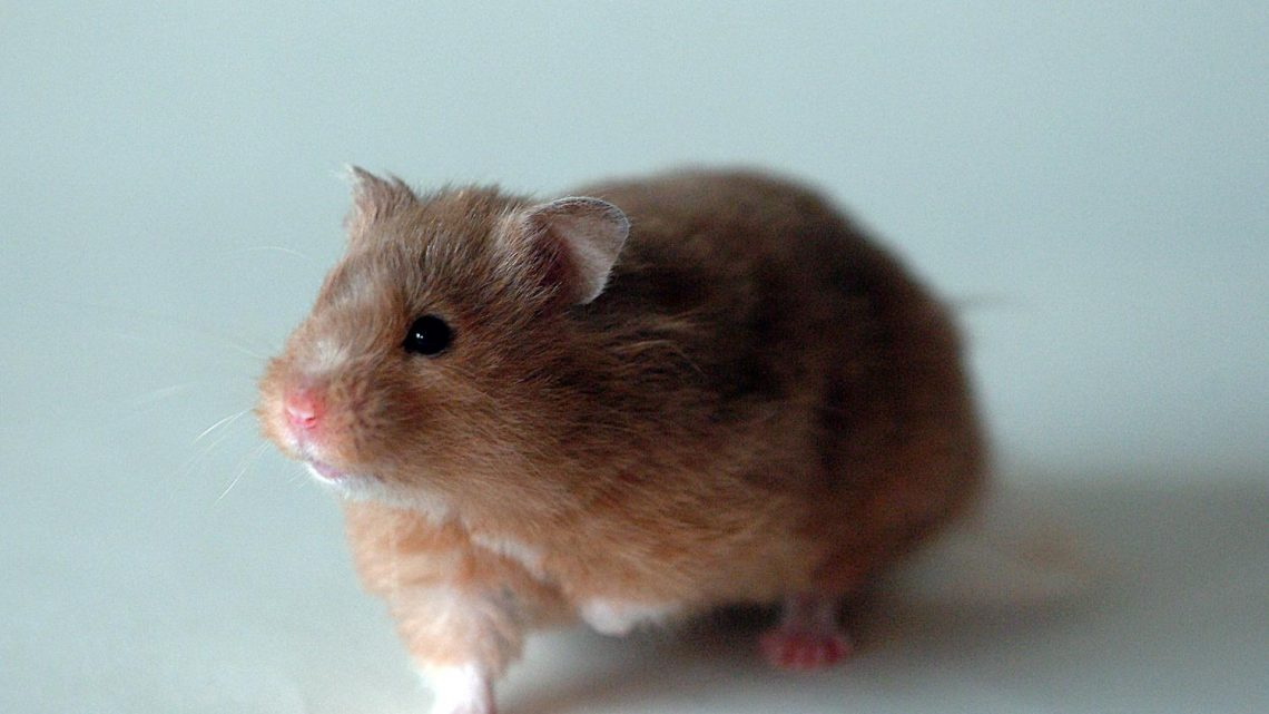 Hibernating hamsters could provide new clues to Alzheimer's disease