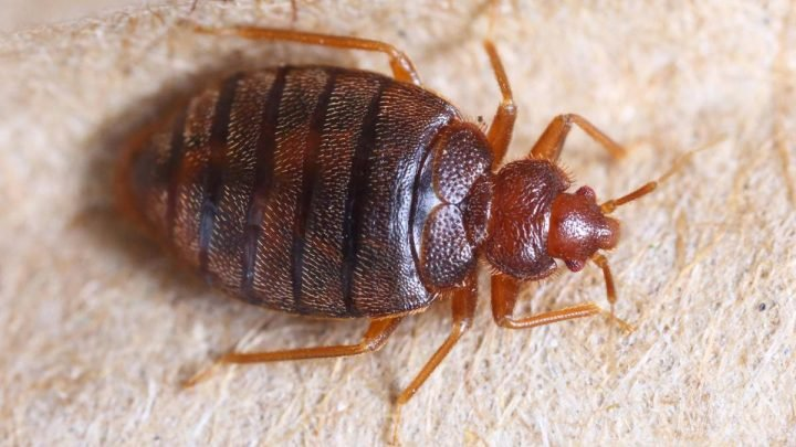 Be careful, they bite! How to identify bed bugs in your apartment