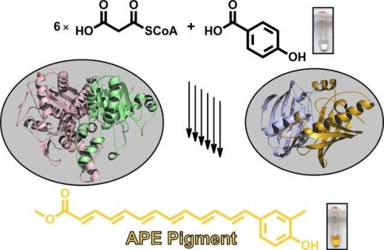 Biosynthesis of widespread pigments from bacteria revealed: Researchers from Goethe University and TU Munich decode biosynthesis of aryl polyene pigments